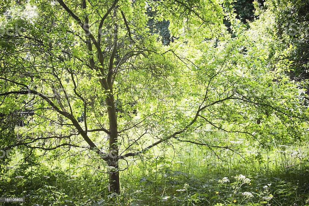 Back-Lit Orchard Tree In Summer royalty-free stock photo