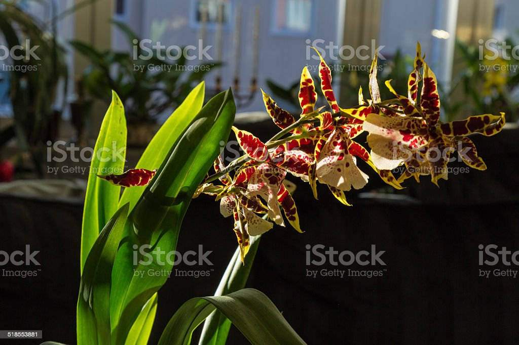 backlit orchid stock photo