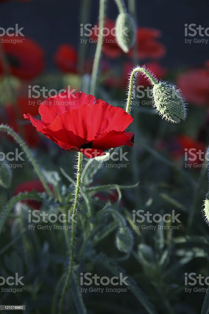 Backlit Oriental Poppy royalty-free stock photo
