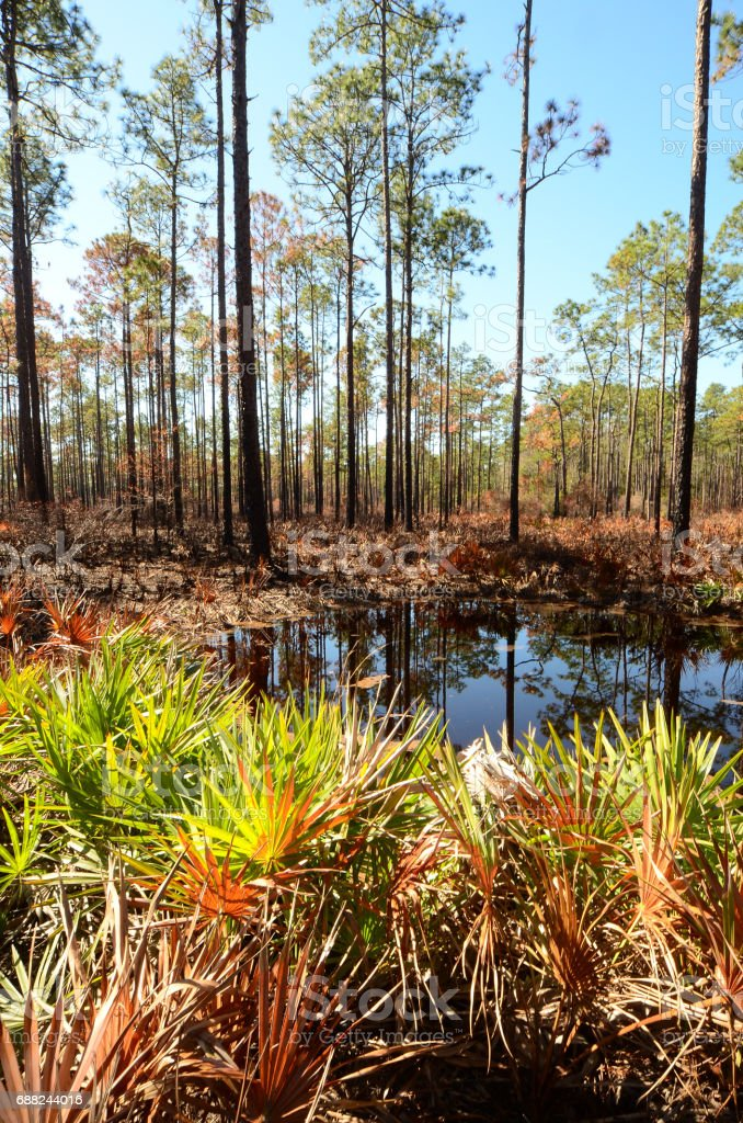 Backlit palmettos by pond  in burned pine forest understory stock photo