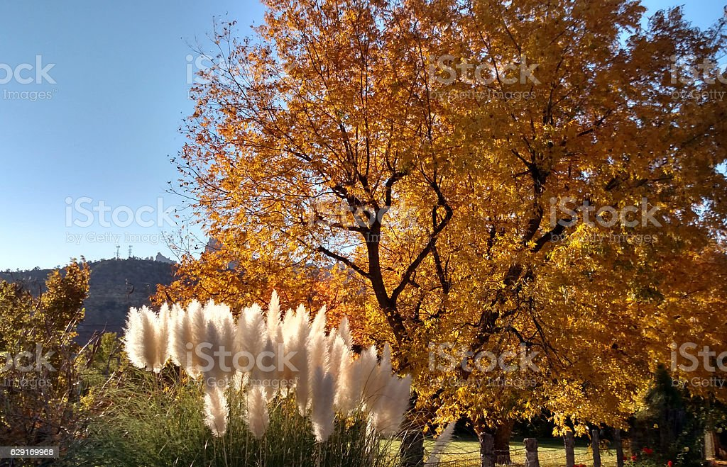 Backlit Pampas Grass yellow leaves of cottonwood tree Rockville Utah stock photo
