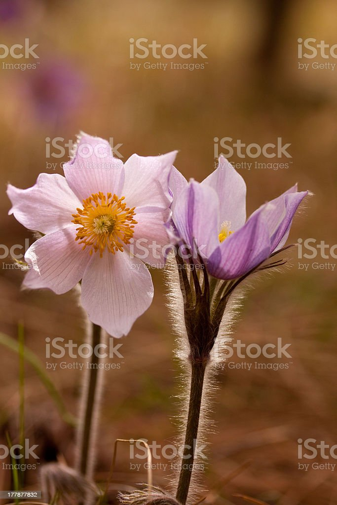 Backlit Pasqueflower stock photo