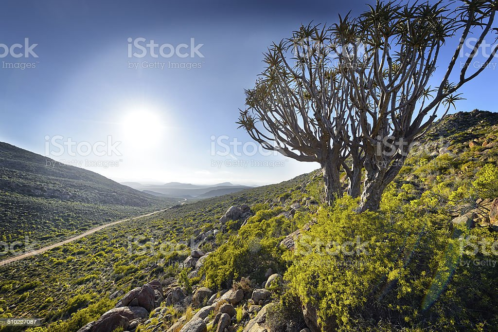 Backlit Quiver tree on mountainside in South Africa stock photo