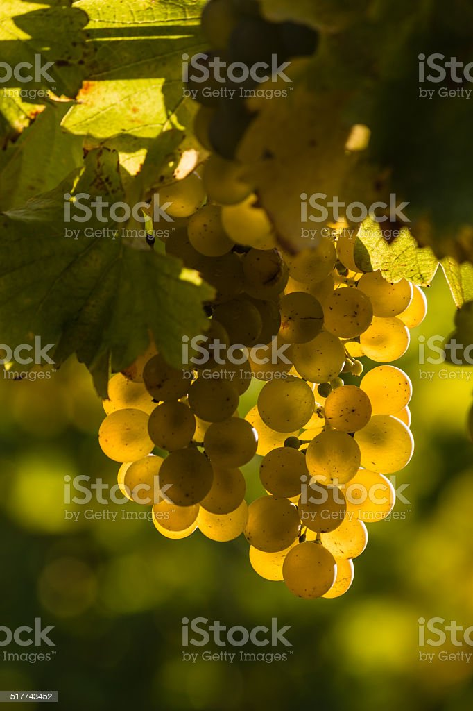 backlit Sauvignon blanc grapes stock photo