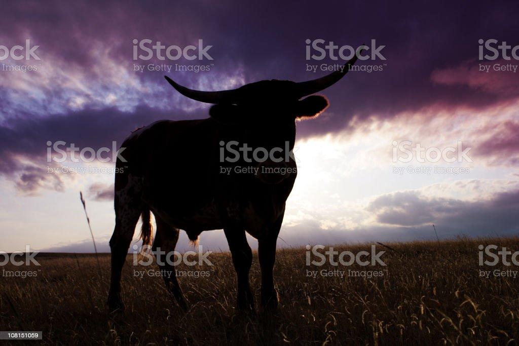 Backlit Steer royalty-free stock photo