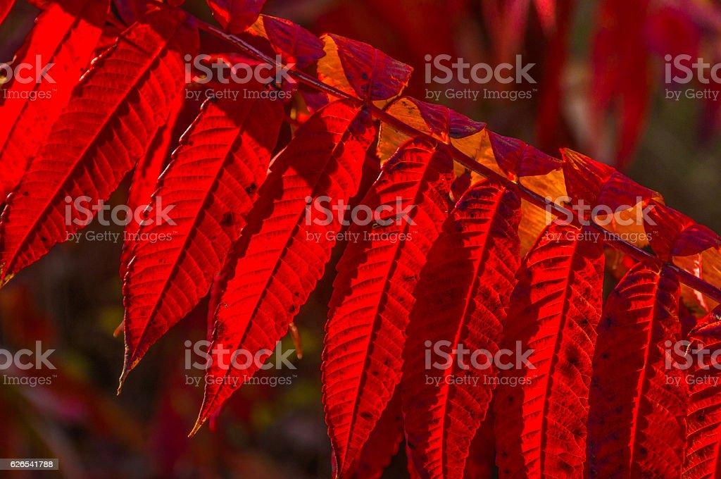 Backlit Sumac Leaves stock photo