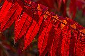 Backlit Sumac Leaves