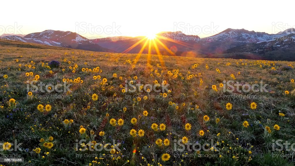 Backlit sun flowers in alpine meadows. stock photo