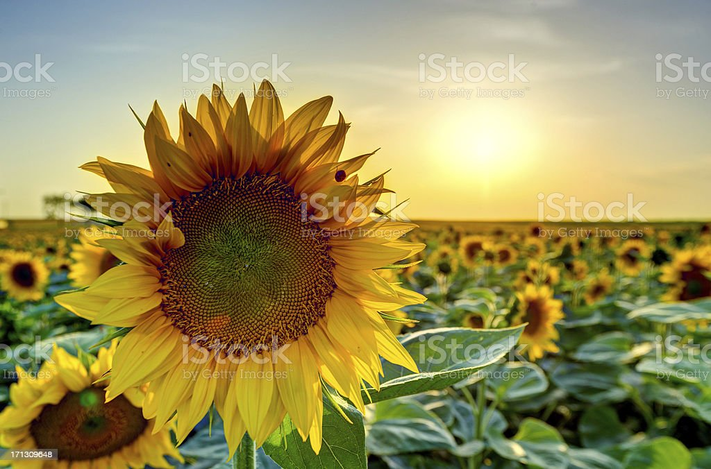 Backlit Sunflower Field in very last evening light royalty-free stock photo