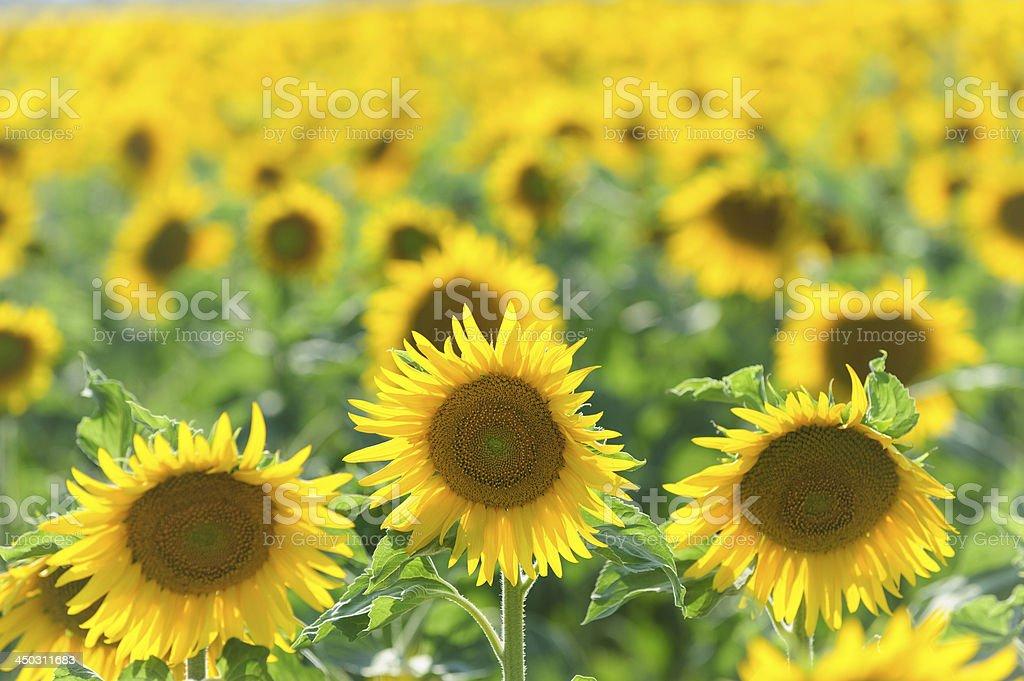 Backlit Sunflower field royalty-free stock photo