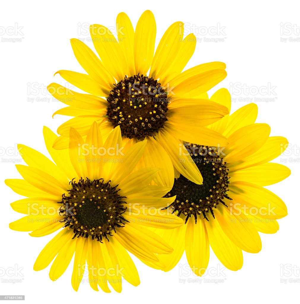 Backlit sunflowers on white royalty-free stock photo