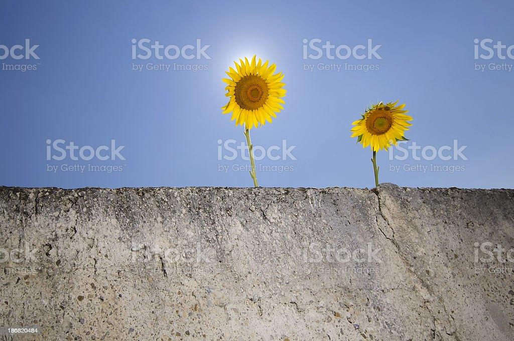 Backlit sunflowers with blue sky and sunstar on wall stock photo
