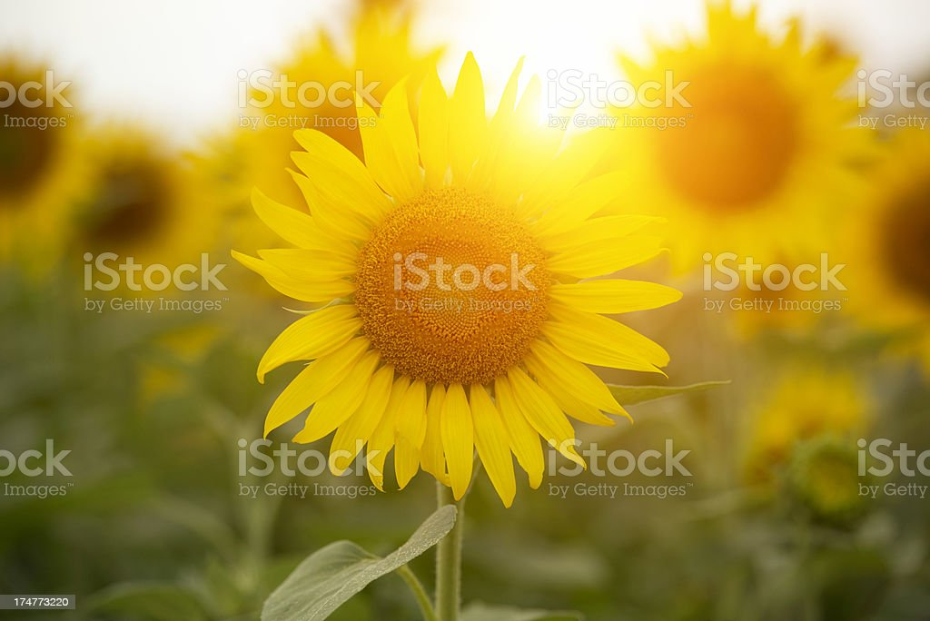 Backlit sunny sunflowers in flower field with sunlight. stock photo