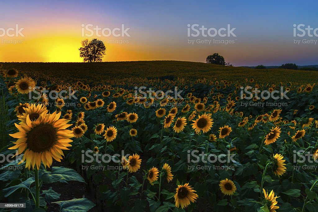 Backlit Sunset Sunflowers stock photo