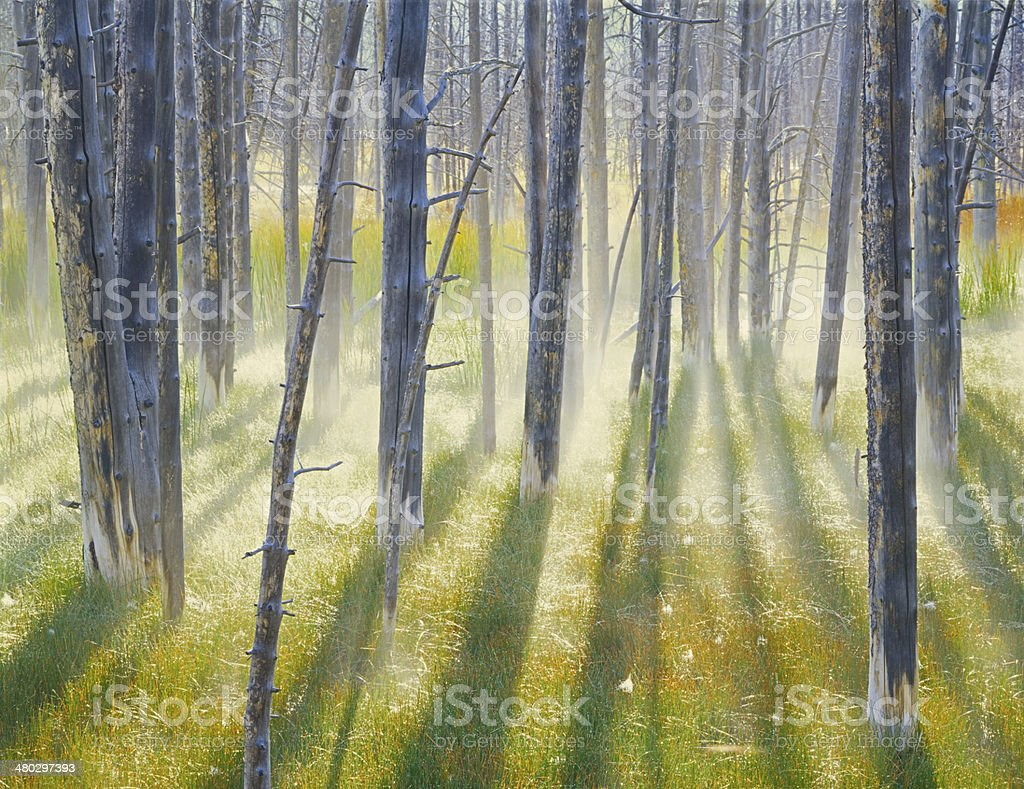 Backlit Trees and mist stock photo