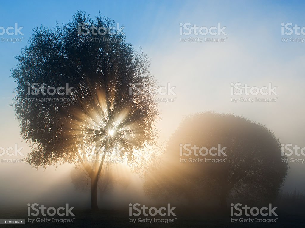 Backlit trees on a foggy morning stock photo
