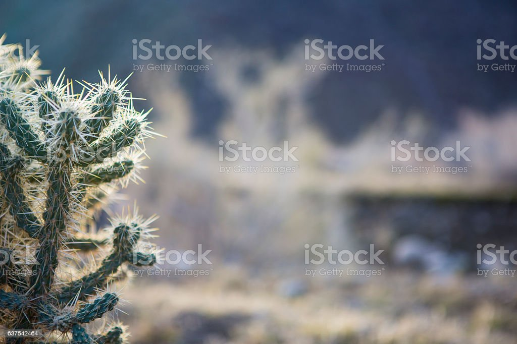 Backlit view of Cylindropuntia species cactus with negative space stock photo