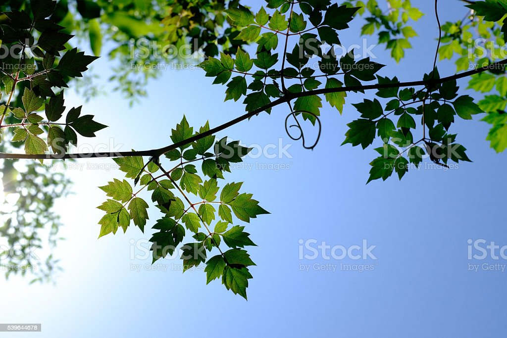 Backlit view of leaves on nature, may use as background royalty-free stock photo