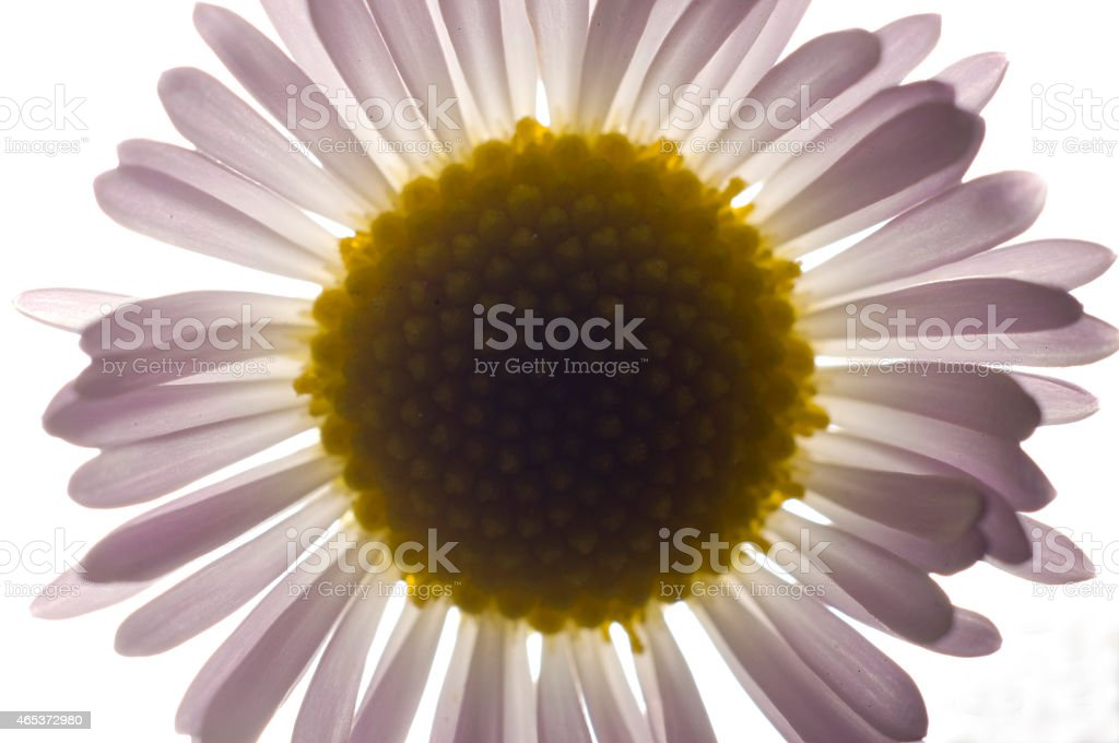 Backlit white and yellow flower stock photo