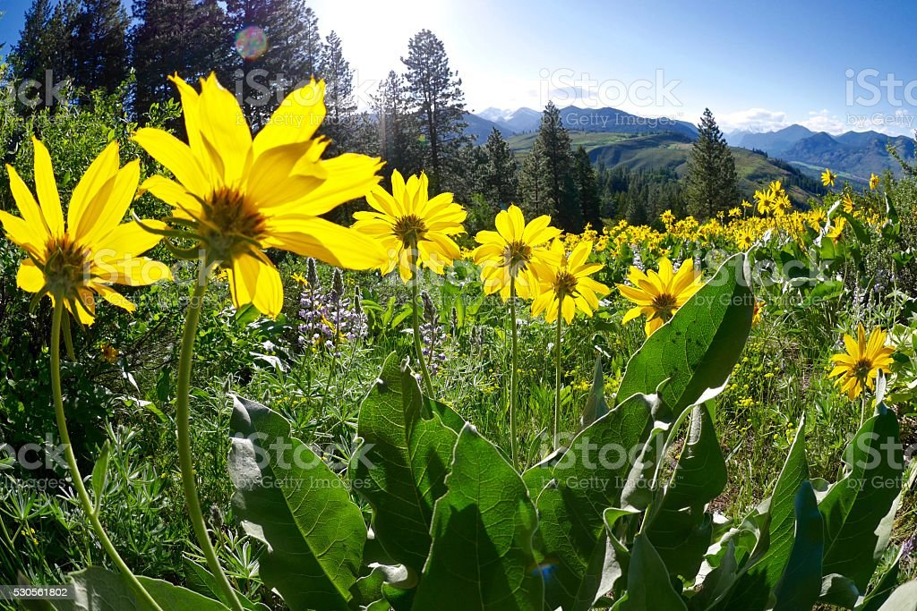Backlit Yellow Flowers in Alpine Meadows. stock photo