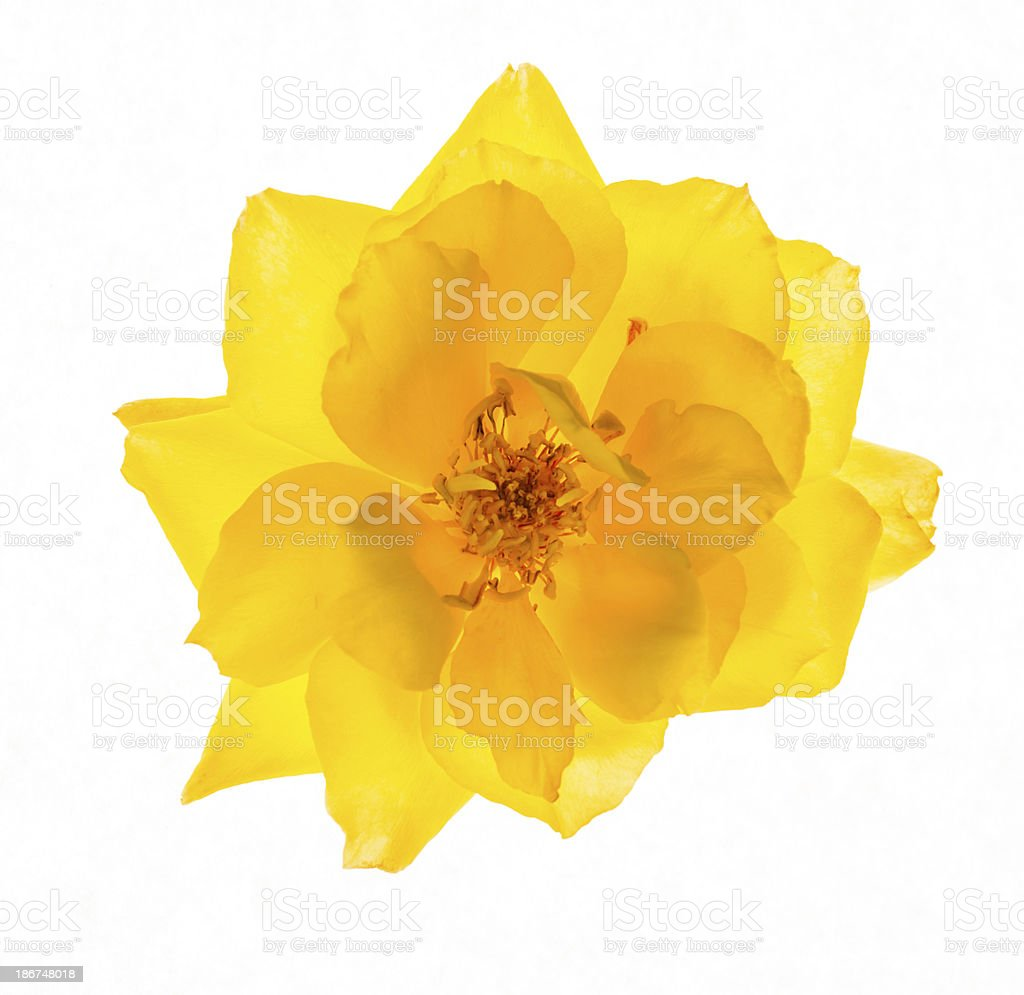 Backlit Yellow rose royalty-free stock photo