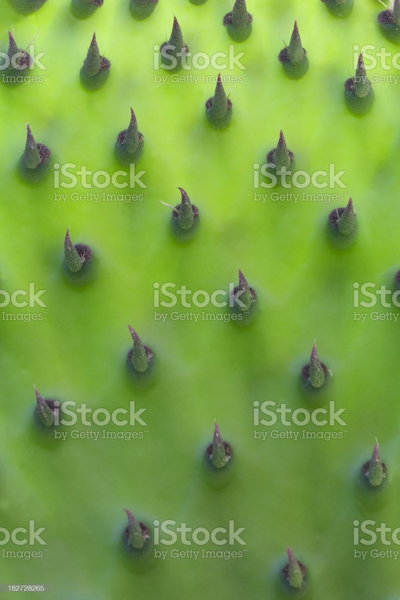 Backlit young prickly pear leaf royalty-free stock photo
