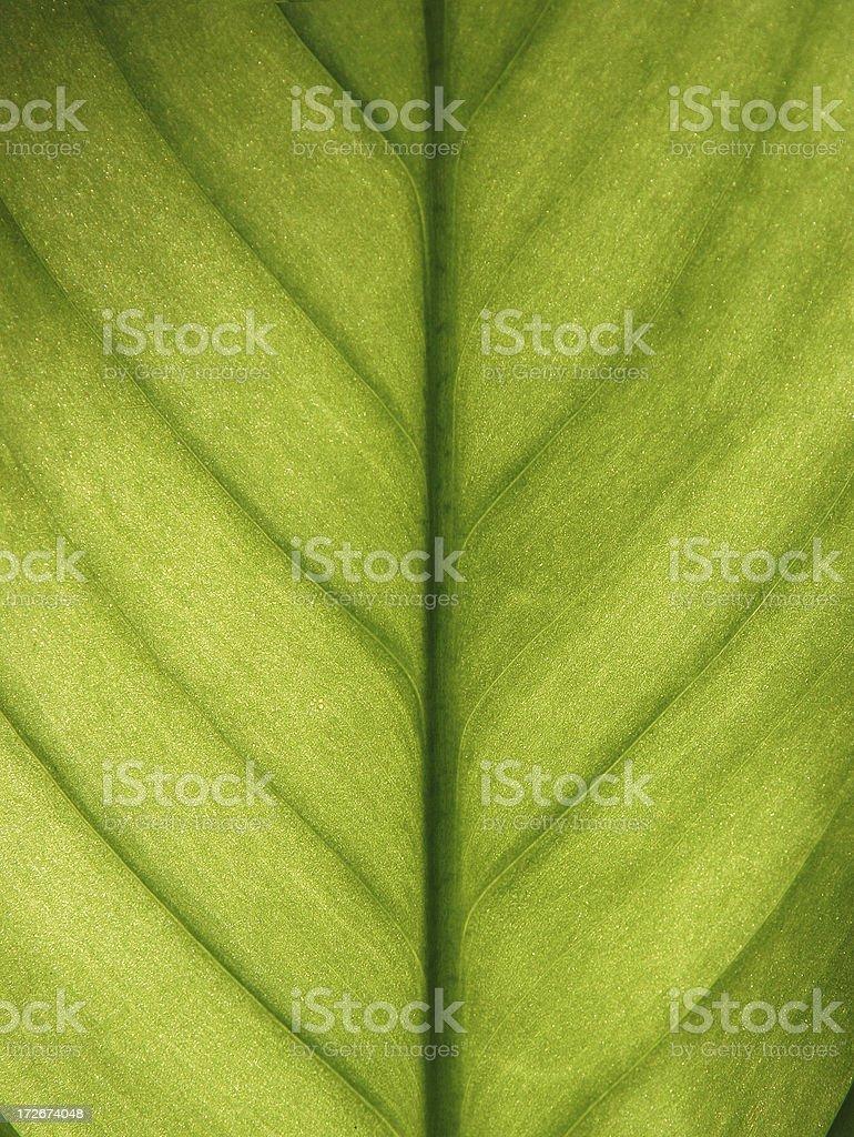 Backlite Leaf royalty-free stock photo