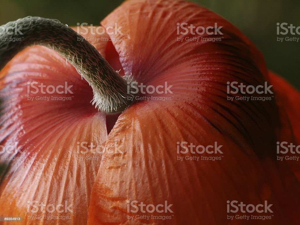 Backside of a red poppy royalty-free stock photo