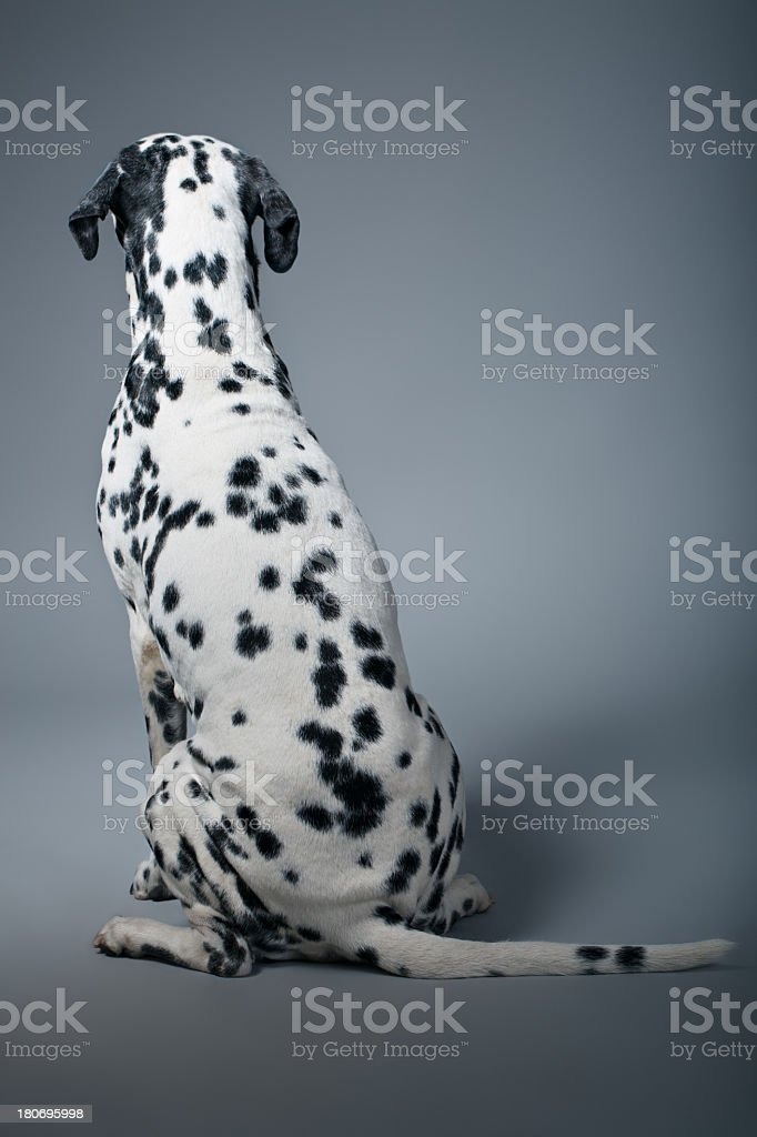 Backside Portrait of a Dalmatian royalty-free stock photo