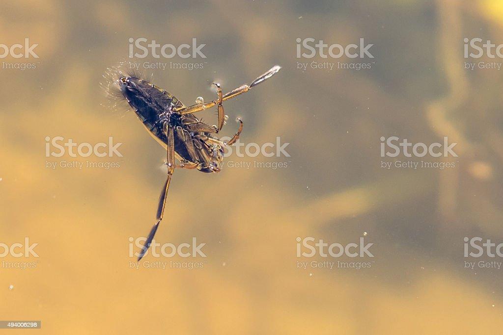Insecto Backswimmer foto de stock libre de derechos