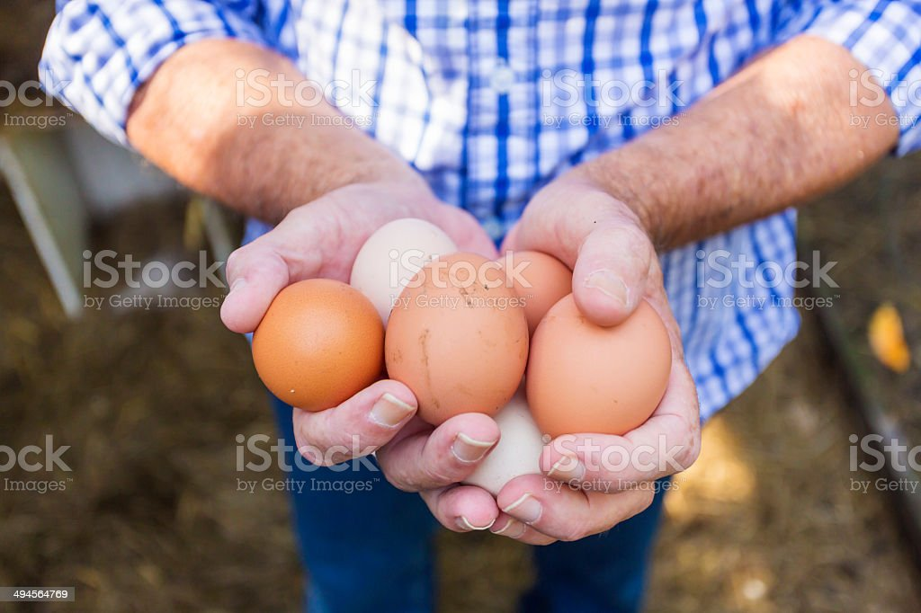 Backyard Chicken Eggs stock photo