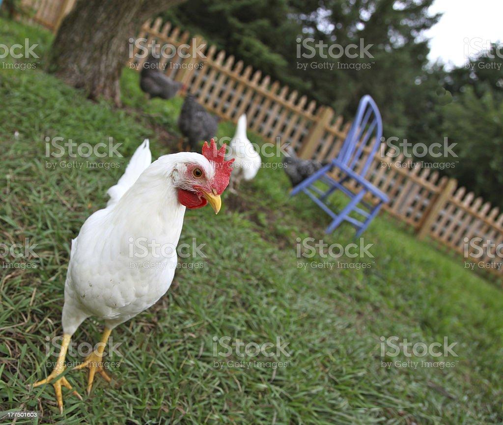 Backyard chicken in grassy fenced yard stock photo
