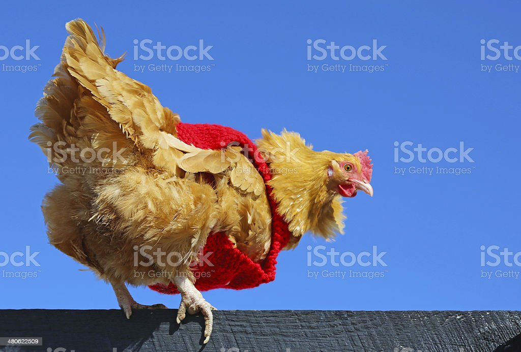 Backyard chicken wearing red sweater royalty-free stock photo