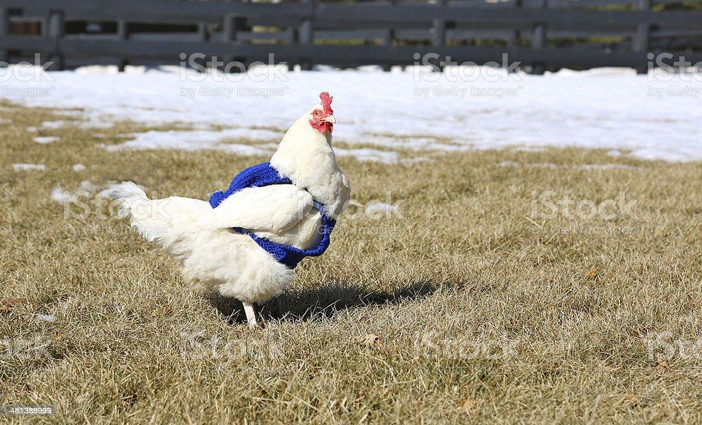 Backyard chicken wearing sweater in winter royalty-free stock photo
