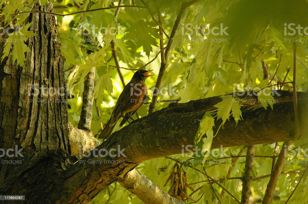 Backyard Robin in Tree royalty-free stock photo