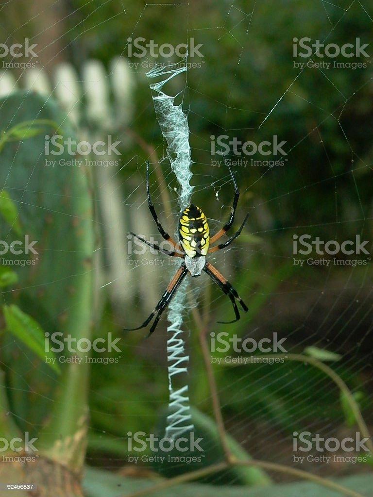 Backyard Spider royalty-free stock photo