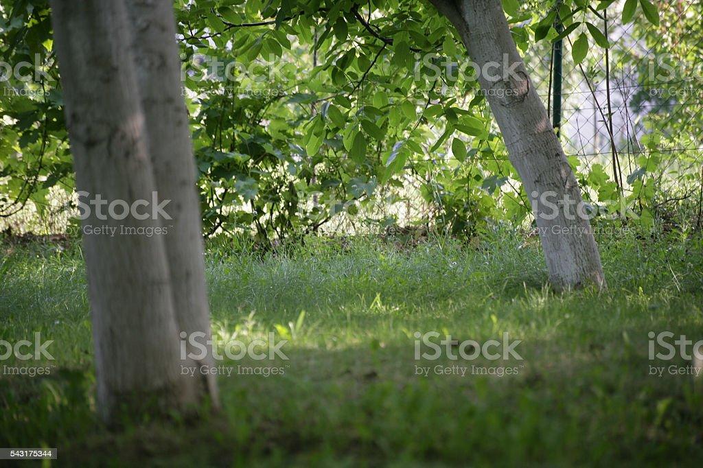 Backyard with Walnut trees stock photo