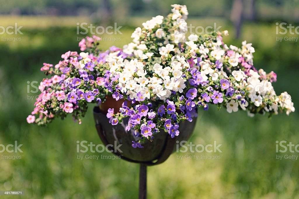 Bacopa flowers royalty-free stock photo