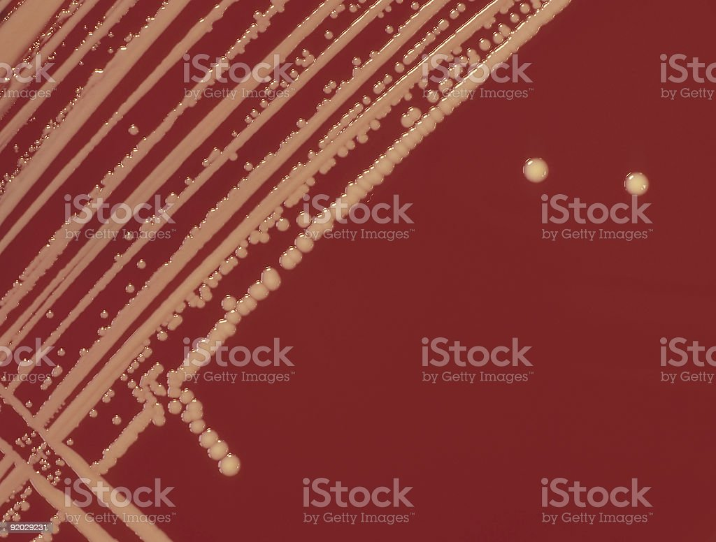 Bacteria colonies of Staphylococcus aureus growing on agar plate royalty-free stock photo