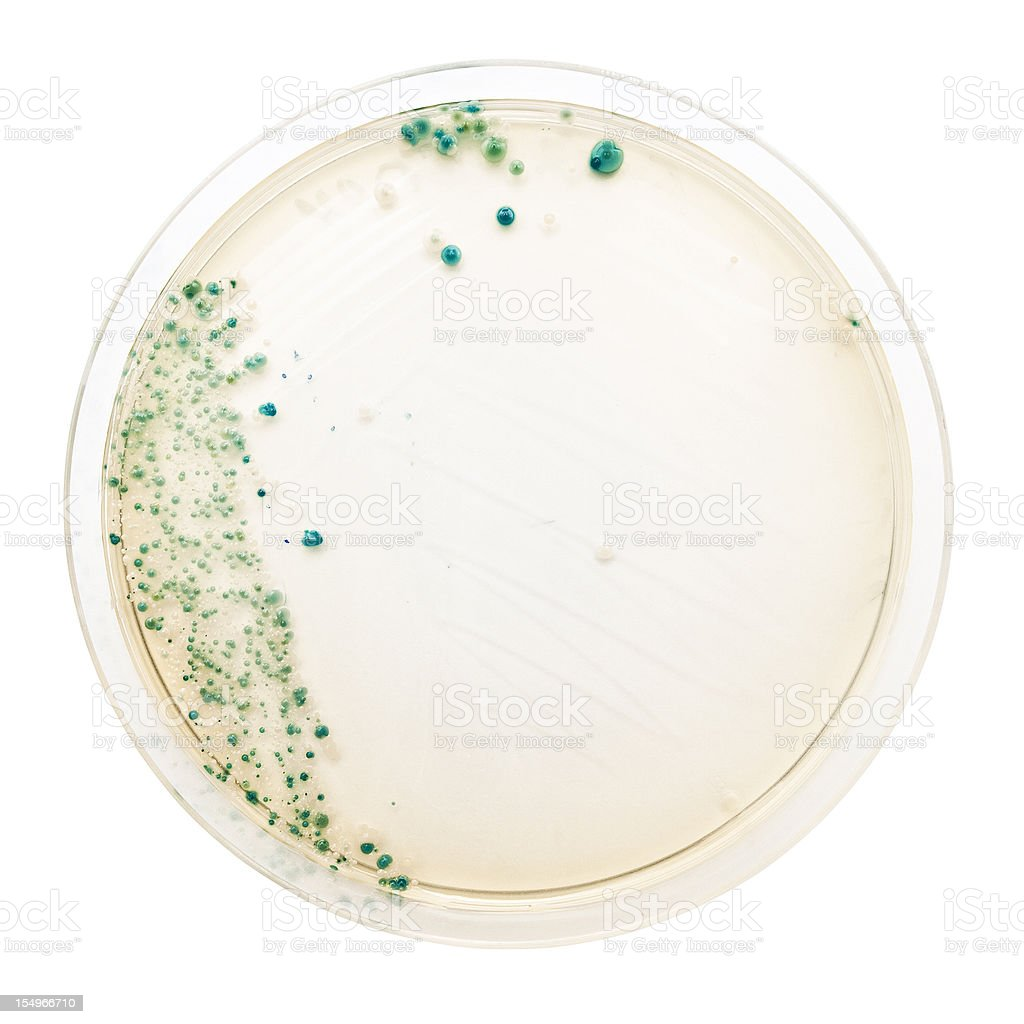 Bacteria colonies on petri dish stock photo