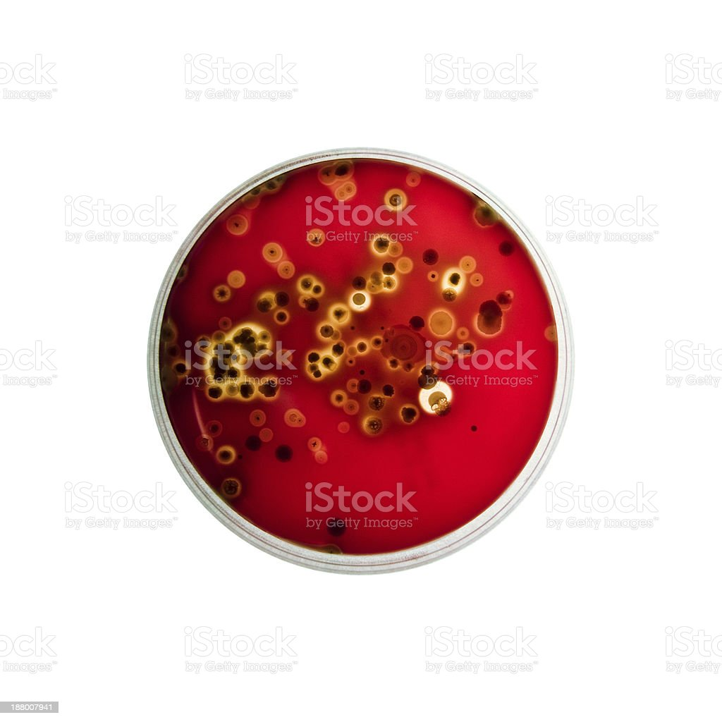 Bacteria growing in a Petri dish stock photo