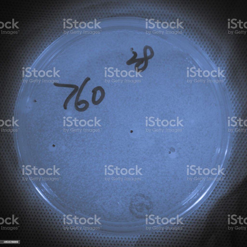 bacterial colony on petri dish royalty-free stock photo