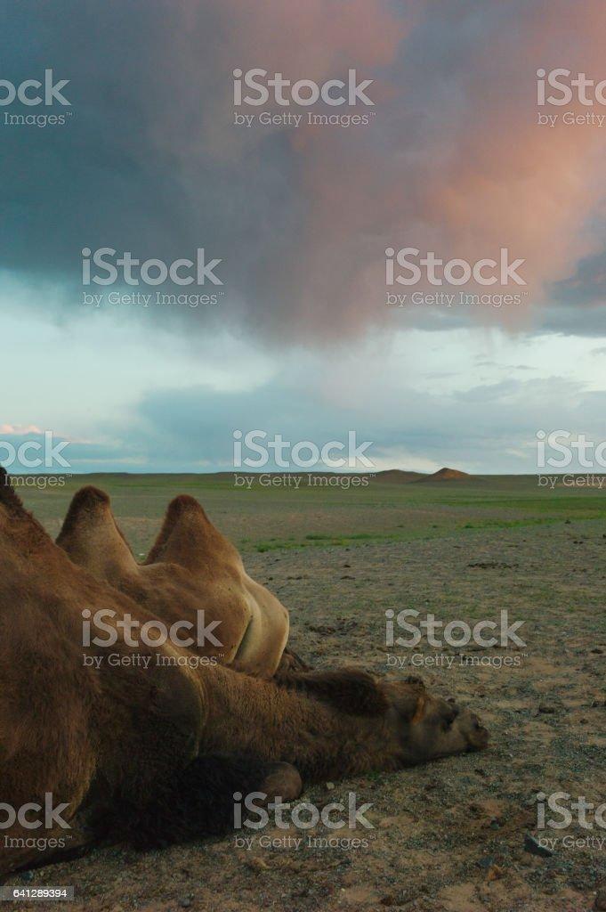 Bactian Camel in the Gobi Desert stock photo