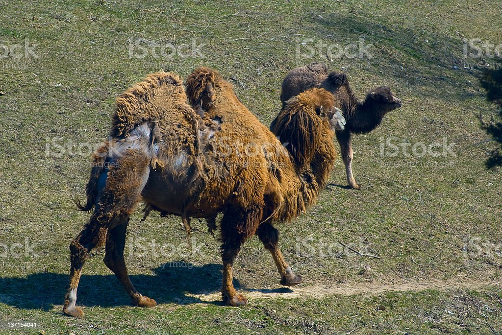 Bactrian Camel and Offspring at the Minnesota Zoo stock photo