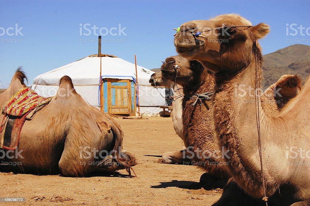 Bactrian camel at yurt, Gobi desert, Mongolia stock photo