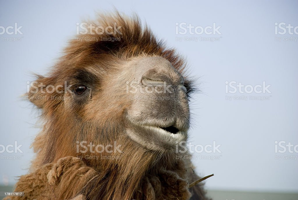 Bactrian camel head royalty-free stock photo