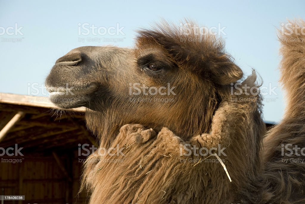 Bactrian camel head royalty-free stock photo