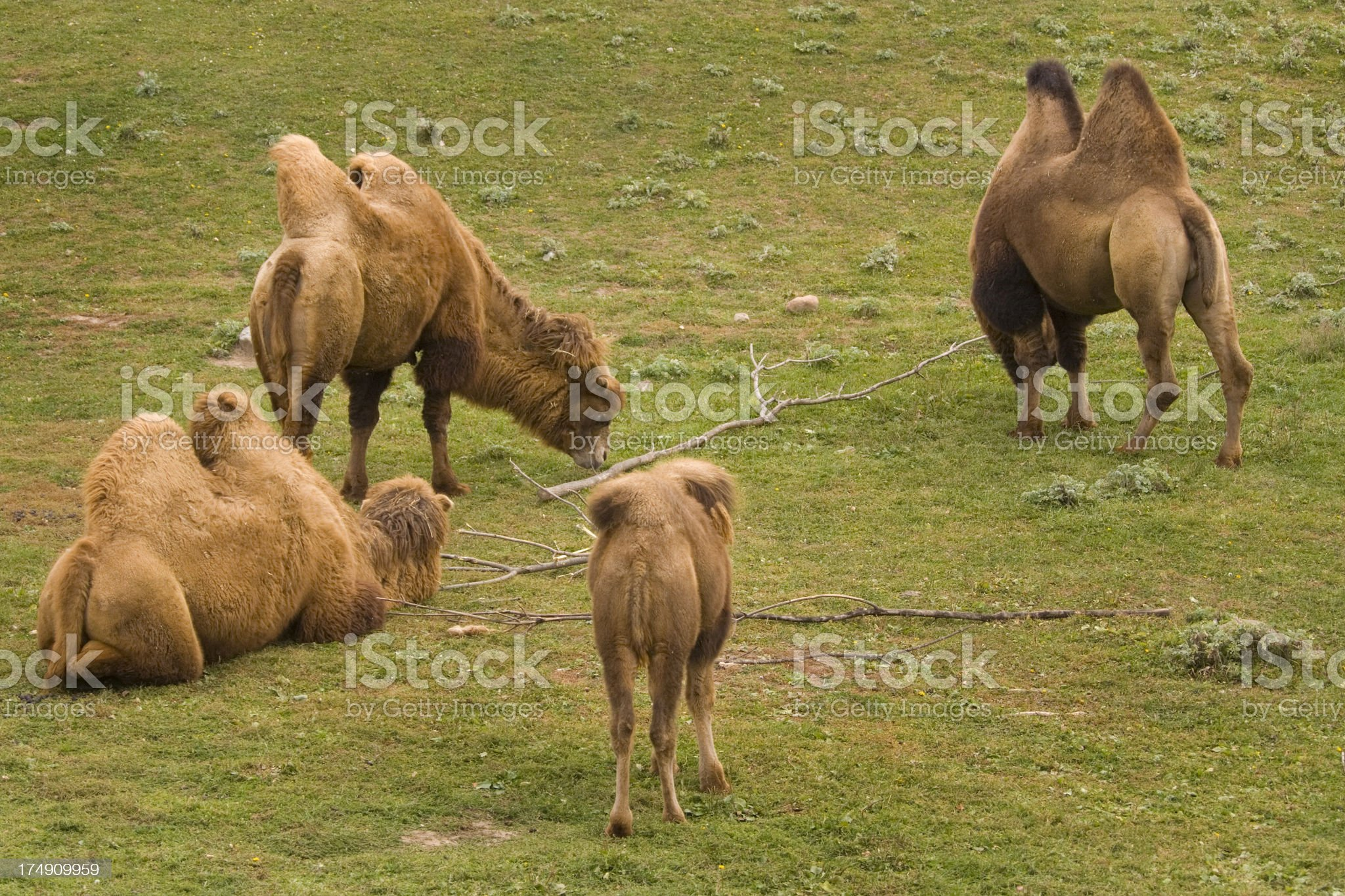Bactrian Camel Herd royalty-free stock photo