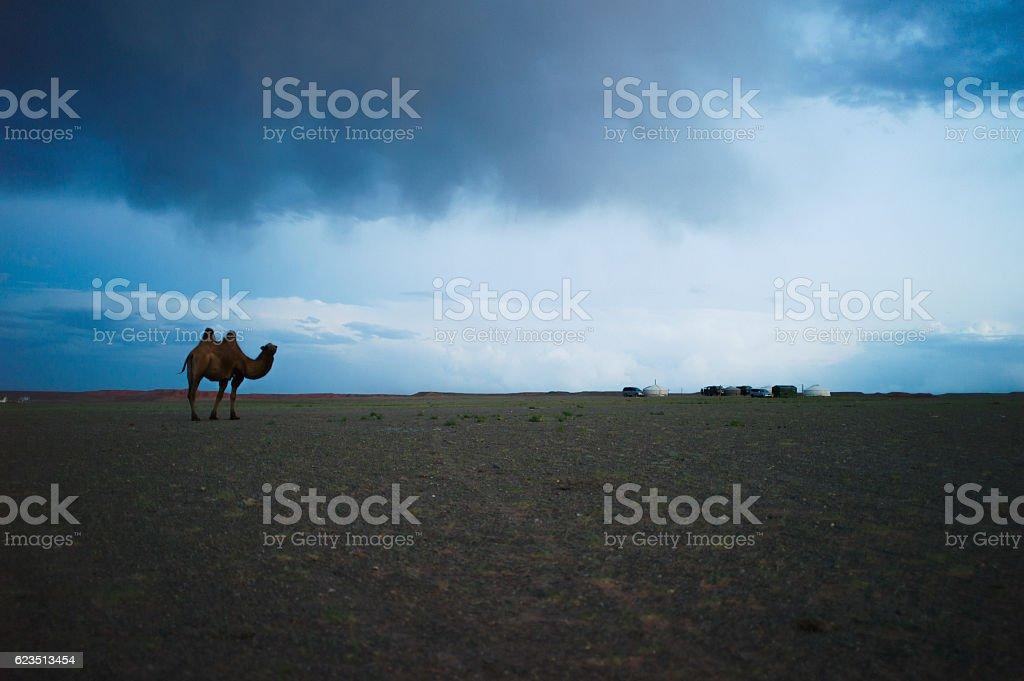 Bactrian Camel in Mongolia stock photo