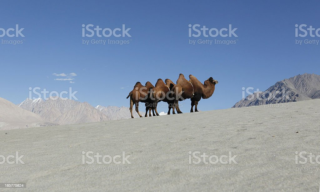 Bactrian Camel in sand dunes royalty-free stock photo